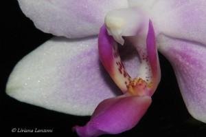 Foto di Liviana Lanzoni -Phalaenopsis Bellina