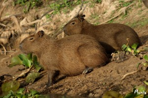 Capibara, il più grande roditore del pianeta