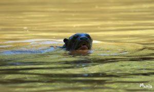 Lontra gigante, con i suoi quasi due metri è il top-predator dei fiumi amazzonici