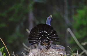 Gallo cedrone -Foto di A. De Faveri