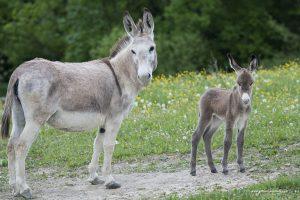 Asinelli - mamma e piccolo