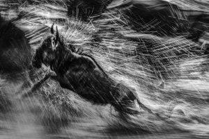 Wildebeests running across Talek river during great migration. MASAI MARA, KENYA www.federicoveronesi.com